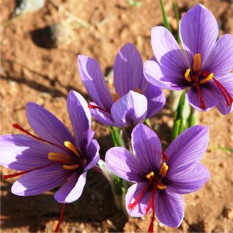 Cefran azafr n con denominaci n de origen protegida for Plantas exoticas online